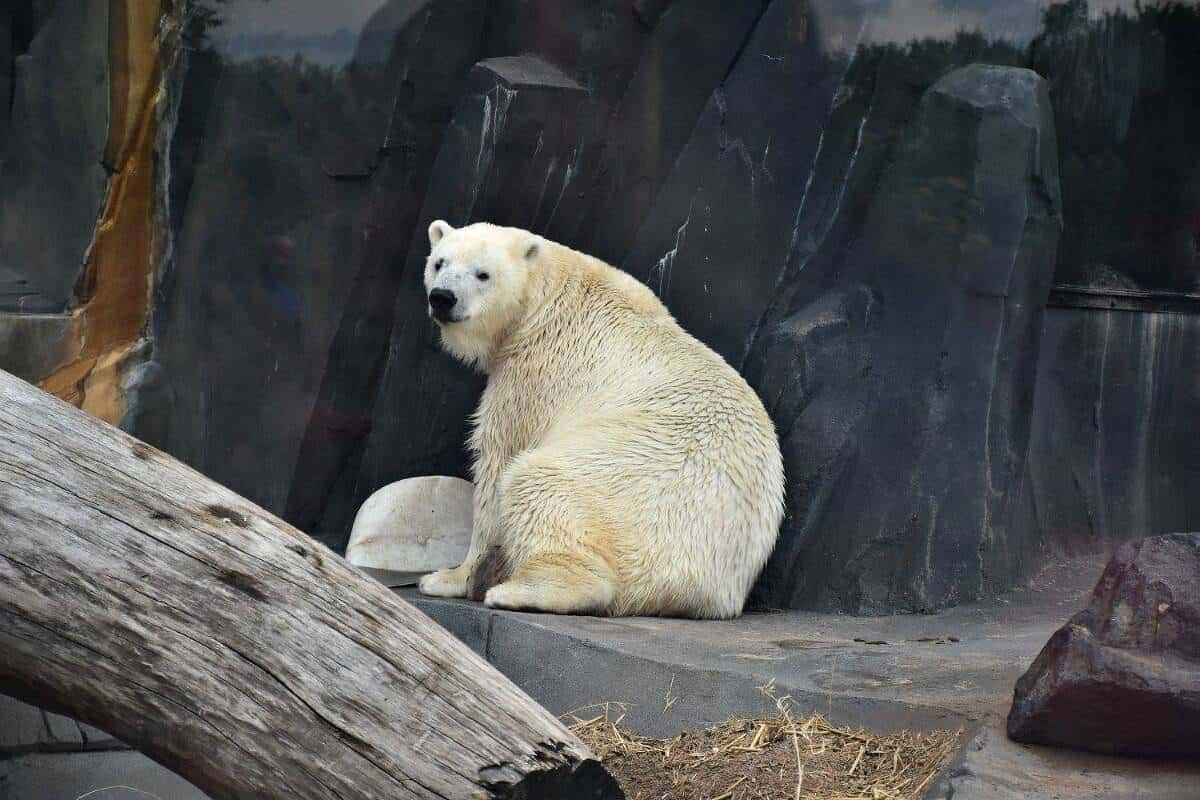 Polar Bear St Louis Zoo Fun Things To Do With Kids In