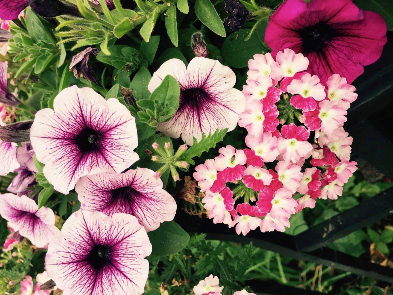 Flowers make me happy: Petunias