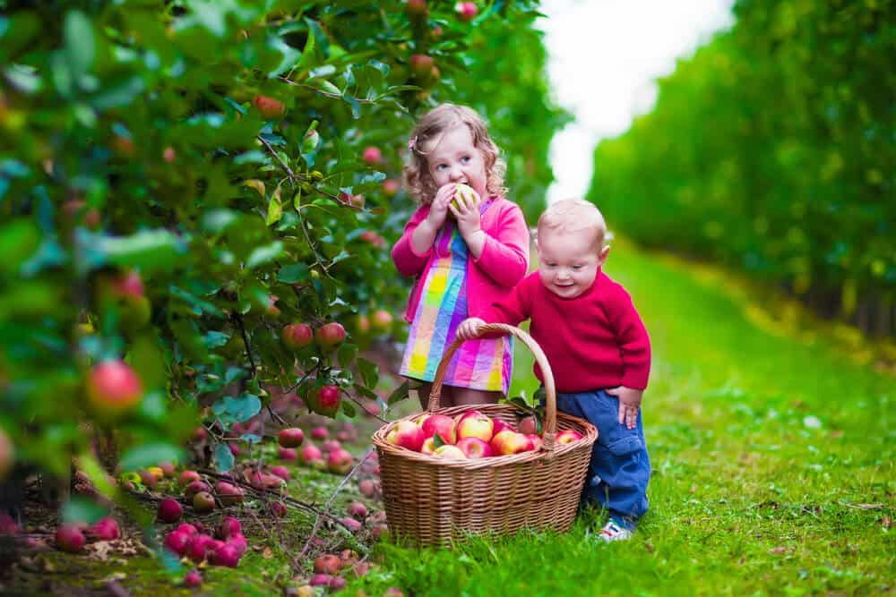 Apple picking with the kids